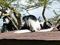Lake Naivasha wildlife - Family at play 09.JPG