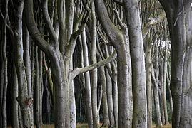 Landschaftsschutzgebiet Kühlung - Nienhäger Holz (Gespensterwald) (29).JPG