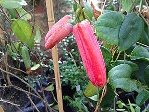 Lapageria - Image: Lapageria rosea fruit