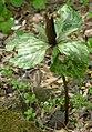 Large Toadshade Trillium cuneatum Whole Plant 1950px.jpg