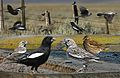 Lark bunting From The Crossley ID Guide Eastern Birds.jpg