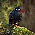 Larosterna inca (Inca Tern - Inkaseeschwalbe) Weltvogelpark Walsrode 2012-001.jpg