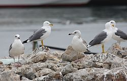 Larus cachinnans Middle East.jpg
