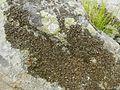 Lasallia pensylvanica - Flickr - pellaea (3).jpg