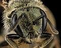 Lasioglossum versatum, F, face, MD, Cecil County 2013-07-08-18.13.27 ZS PMax (10766451664).jpg