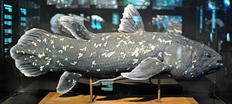 West Indian Ocean coelacanth - Image: Latimeria chalumnae replica