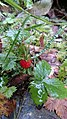 LeTour d'Ens fraise sauvage.JPG