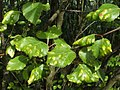 Leaf galls on silver birch - geograph.org.uk - 1349563.jpg
