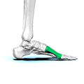 Left First metatarsal bone02.png