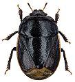 Legnotus limbosus.jpg