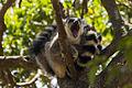 Lemur Catta - Anja Reserve - Madagascar MG 1605 (15099669607).jpg