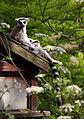 Lemur Paparazzi Pic (14469451442).jpg