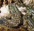 Leopard Frogs - Flickr - gailhampshire.jpg
