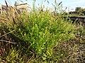 Lepidium virginicum (subsp. virginicum) sl1.jpg