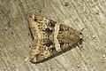 Lepidoptera (16070054835).jpg