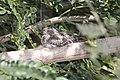 Lesser Nighthawk (Chordeiles acutipennis) (3323630043).jpg