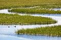 Lesser scaups near Swan Lake (35941818594).jpg