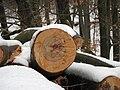 Letokruhy buků v hornopožárském lese (008).JPG