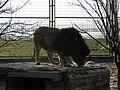 Lev v oáze-Sultán - panoramio.jpg