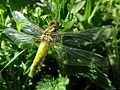 Libellula depressa (Libellulidae sp.) female, Elst (Gld), the Netherlands.jpg