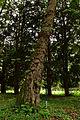 Lilienfeld - Naturdenkmal LF-021 - Parkanlage im Stift Lilienfeld - 07 - Stamm einer Kaukasischen Flügelnuss (Pterocarya fraxinifolia).jpg