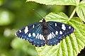 Limenitis reducta (blauwe ijsvogelvlinder).jpg