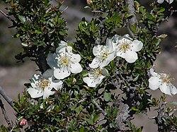 Lindleya mespiloides Kunth.jpg