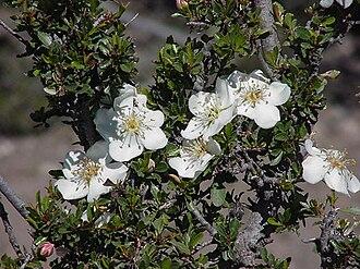 Maleae - Lindleya mespiloides in bloom