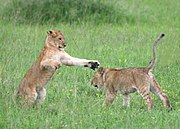 Lion cubs playing in the Serengeti