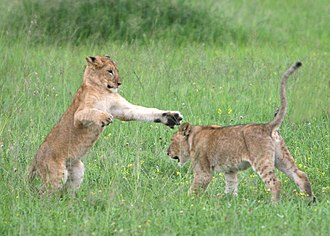 Panthera leo melanochaita - Image: Lion cubs Serengeti