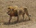 Lion from Safari-sm.jpg