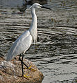 Little Egret (Egretta garzetta)- Breeding plumage- in Hyderabad, AP W IMG 7671.jpg