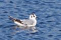 Little Gull (Hydrocoloeus minutus) (13667531913).jpg