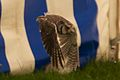 Little Owl, Cheshire Game and Country Fair 2014 1.jpg
