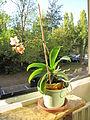 Little orchid D1110.jpg