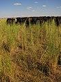 Livestock119 (37988226625).jpg