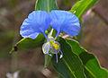 Livingston's Blue Commelina (Commelina livingstonii) (11492121515).jpg