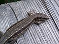 Lizard (unknown) 2.jpg