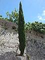Lone tree. Bar, Montenegro.jpg