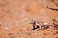 Long-nosed Leopard Lizard (8043739603).jpg