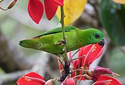 A green parrot with a short tail and black bill