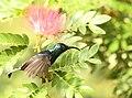Loten's Sunbird AMSM9916.jpg
