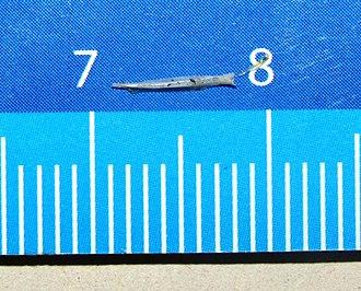 Love dart - A love dart from Cornu aspersum (garden snail) on a ruler for comparison, showing its length of 7 mm.