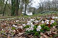 Lovely woodflowers at springtiome in front of Hotel Warnsborn. Oxalis acetosella (witte klaverzuring) at 7 April 2012 - panoramio.jpg