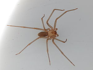 English: Adult male brown recluse spider dorsa...