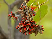 Lucky Bean Creeper (Abrus precatorius) pods of seeds (11587246435).jpg