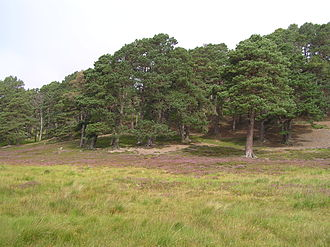 Fauna of Scotland - Scots pine forest, Deeside