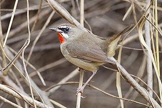 Siberian rubythroat species of bird