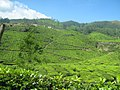Lush green Tea Gardens in Munnar, Kerala 187.jpg