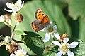 Lycaena phlaeas, Vosges - img 34447.jpg